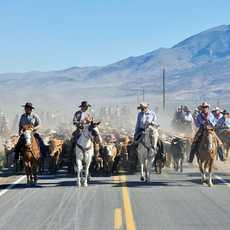 Rinderherde und Cowboys beim Reno Cattle Drive