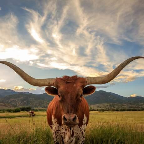 Ein Texas Longhorn in der freien Natur