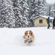 Hund freut sich über den Neuschnee im Mount Norquay Skiegebiet in Banff