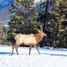 Wapiti im Jasper National Park