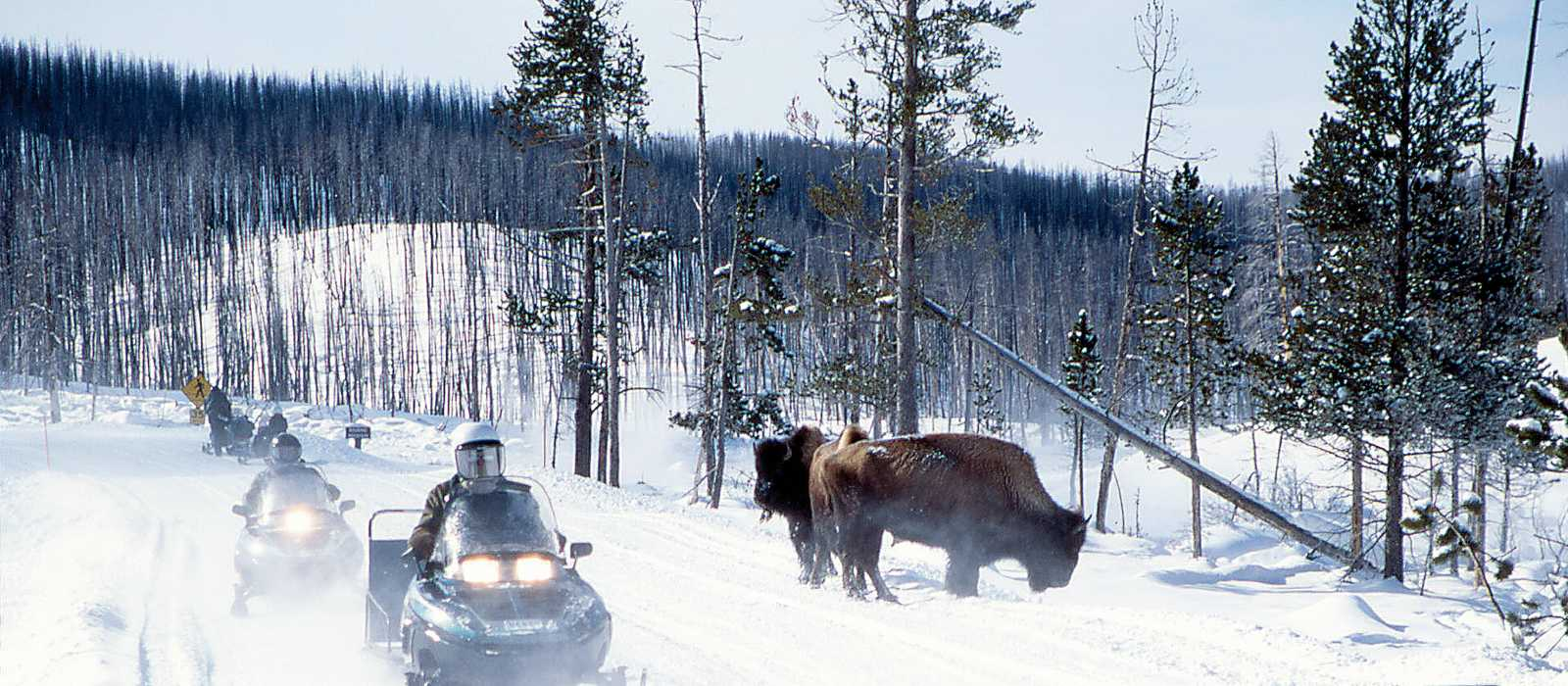 Snowmobiles passing bison near Roaring Mtn. Jim Peaco March 1997